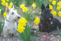 Scotties and Spring flowers